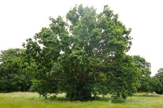 Segment13.Oak
